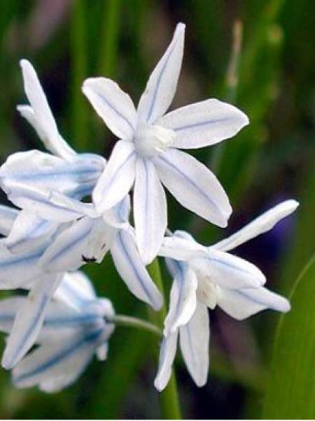 Puschkinia scilloides 'Libanotica'