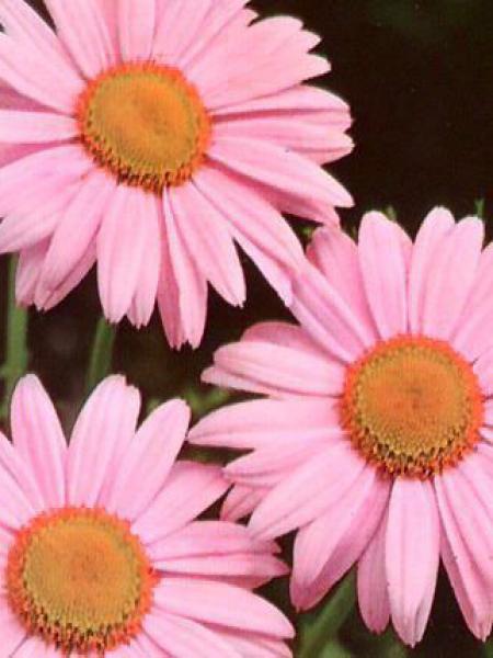 Pyrèthre 'Robinson's Pink'