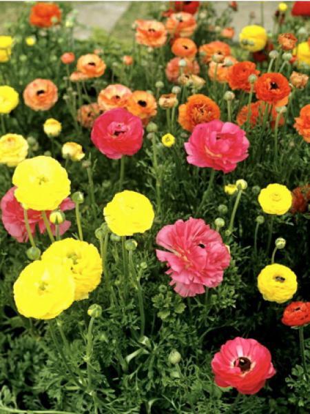 Renoncule des fleuristes en mélange