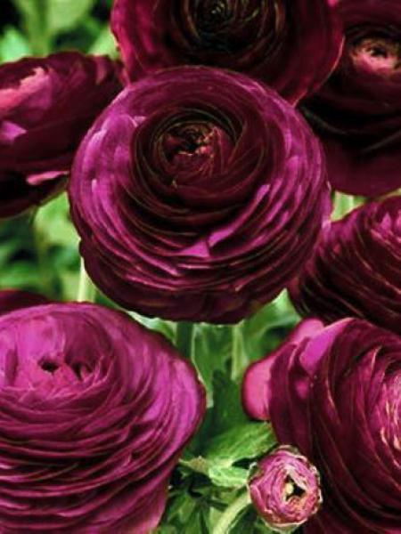 Renoncule Des Fleuristes Pauline Violet Ranunculus Asiaticus Le Jardin Du Pic Vert
