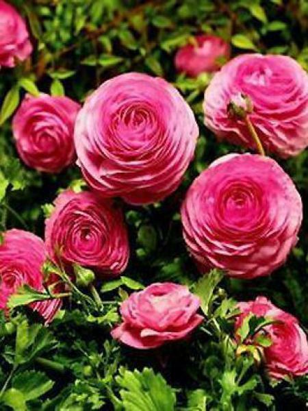 Renoncule des fleuristes -rose-