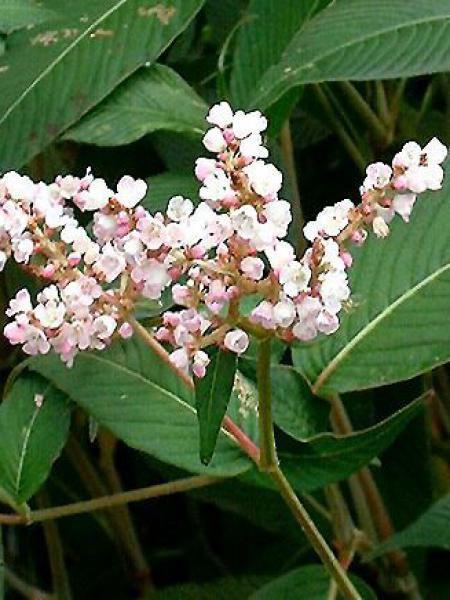 Renouée à fleurs de campanule
