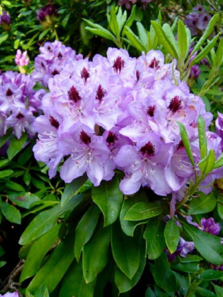 Rhododendron  'Blue jay'