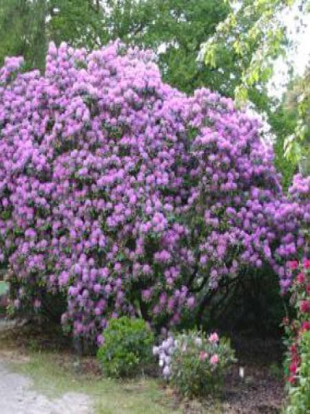 Rhododendron catawbiense 'Grandiflora'
