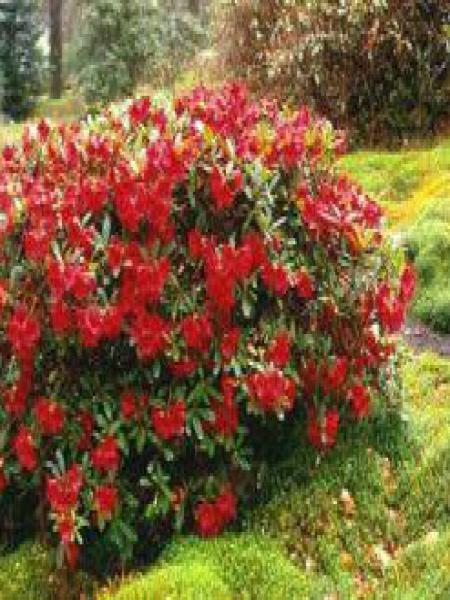 Rhododendron  'Elisabeth'