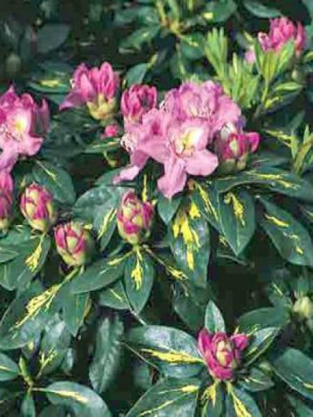 Rhododendron  'Goldflimmer'