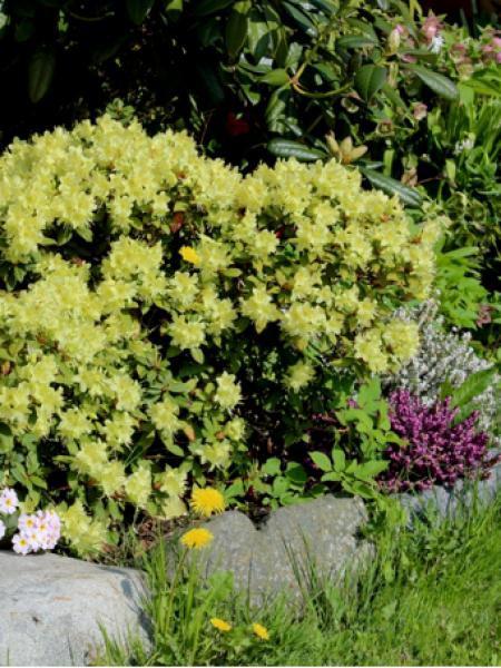 Rhododendron  'Pincess ann'