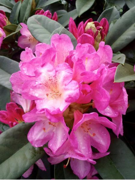 Rhododendron x 'Eucharitis'