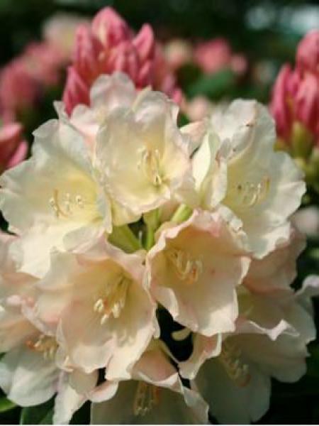 Rhododendron yakushimanum 'Golden Torch'