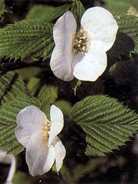 Rhodotypos scandens