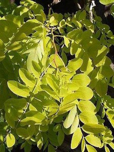Robinia pseudoacacia 'Frisia'