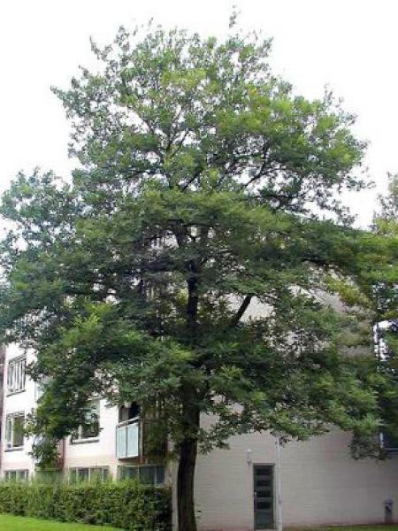 Robinier faux acacia \'Bessoniana\' - Robinia pseudoacacia - Le Jardin ...