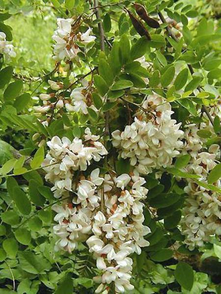 Robinier faux acacia pseudoacacia
