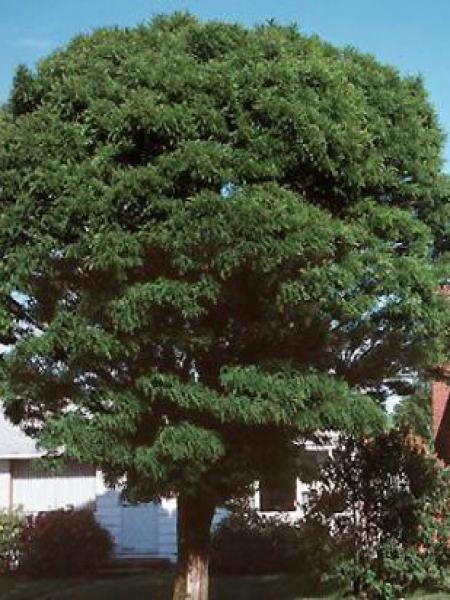 Robinier faux acacia \'Umbraculifera\' - Robinia pseudoacacia - Le ...