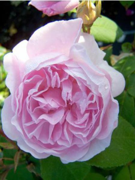 Rose des peintres 'Chapeau de Napoleon'