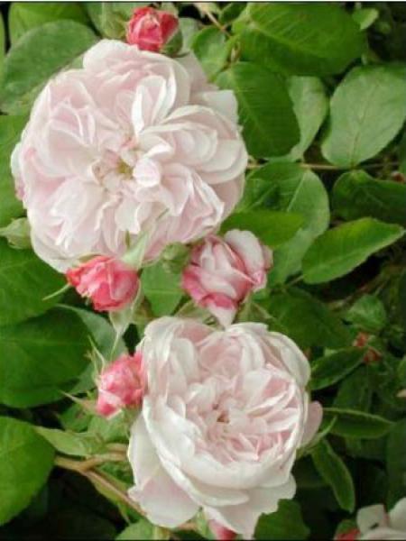 Rose des peintres 'Fantin Latour'