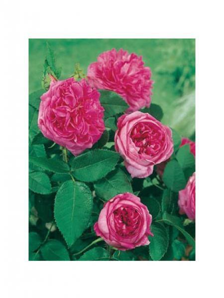 Rose des peintres, rosier ancien 'Des Peintres'