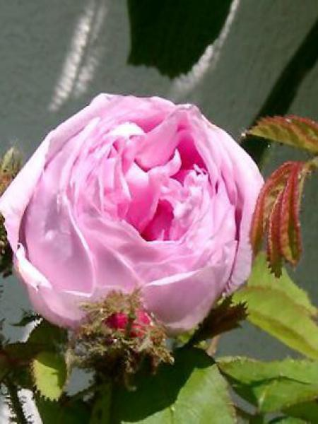 Rose des peintres, rosier ancien