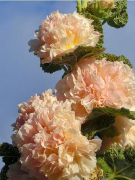 Rose trémière 'Chater's Double Apricot'