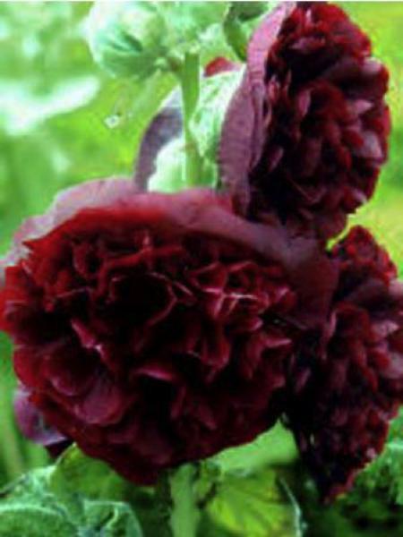 Rose trémière double 'Chater's Purple'