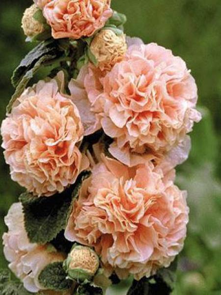 Rose trémière double 'Chatter's Salmon'