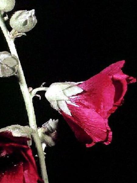 Rose trémière 'Rubra'