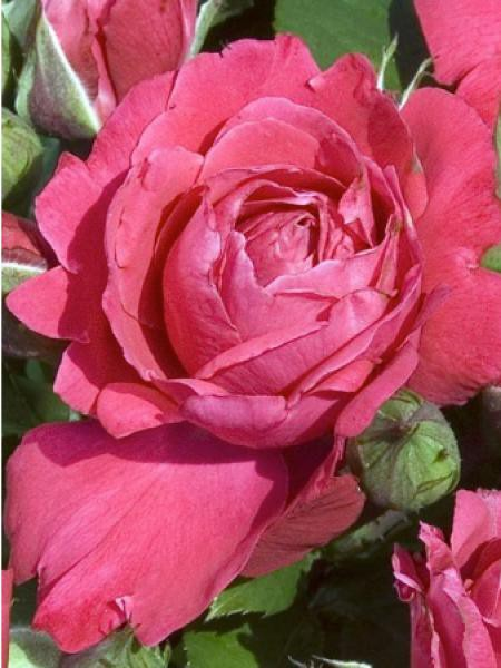 Rosier à fleurs groupées 'Akaroa®'
