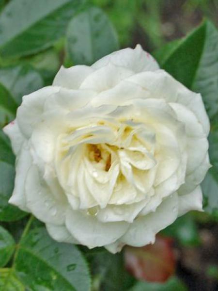 Rosier à fleurs groupées 'Alabaster'®