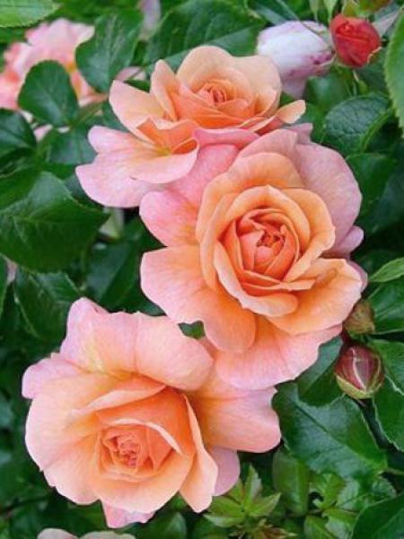 Rosier à fleurs groupées 'Aprikola'