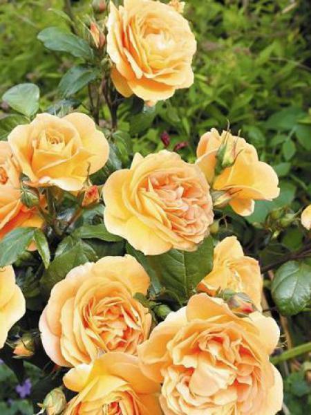 Rosier à fleurs groupées 'Bernstein-rose'®