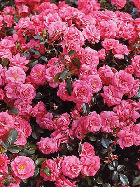 Rosier à fleurs groupées 'Bonapart'