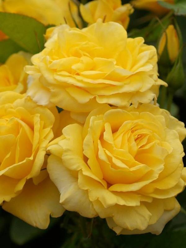 rosier fleurs group es 39 carte d 39 or 39 rosa floribunda le jardin du pic vert. Black Bedroom Furniture Sets. Home Design Ideas