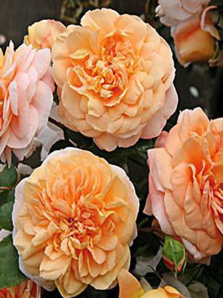 Rosier à fleurs groupées 'Cervia'