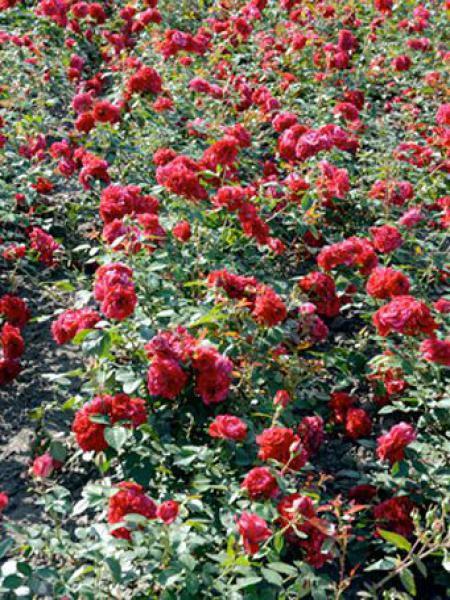 Rosier à fleurs groupées 'Deep Impression'®