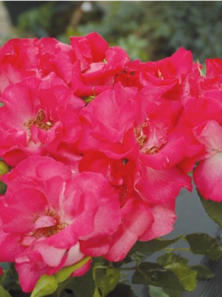Rosier à fleurs groupées 'Eglantine Guillot®'