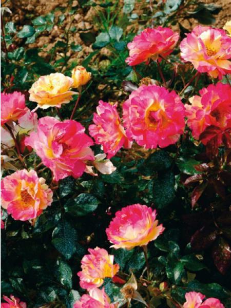 Rosier à fleurs groupées 'Emile Debroise®'
