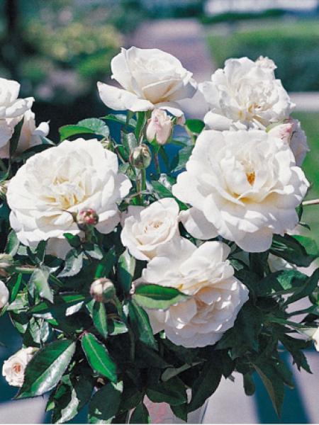 Rosier à fleurs groupées 'Fabulous'
