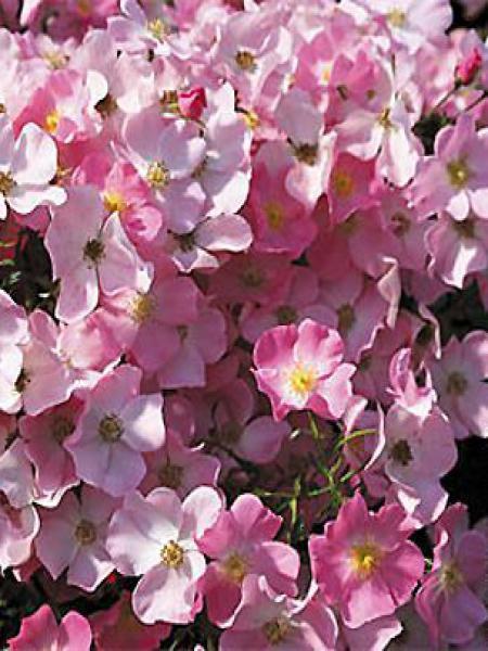 Rosier à fleurs groupées 'Fortuna'