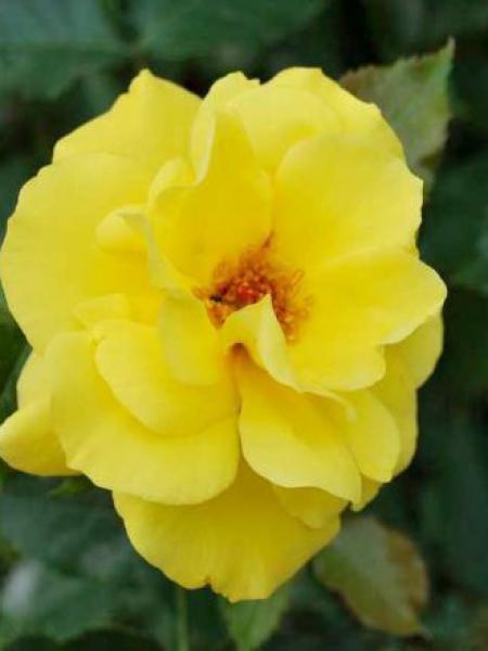 Rosier à fleurs groupées 'Friesia'