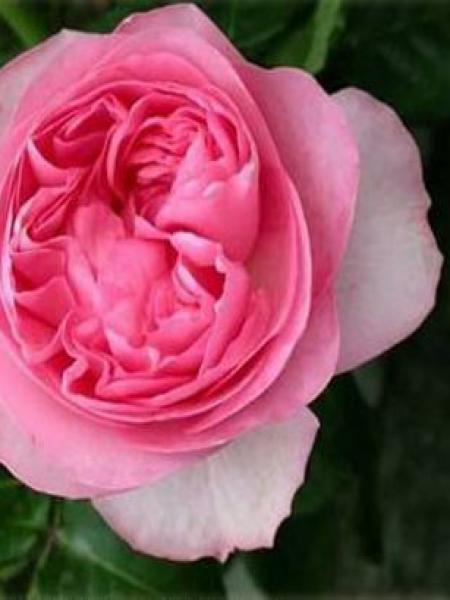 Rosier à fleurs groupées 'Guy de maupassant'