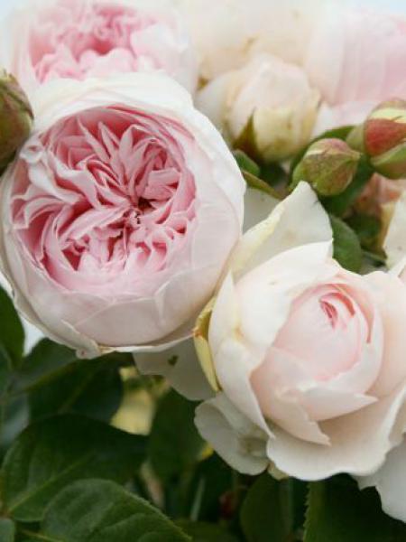 Rosier à fleurs groupées 'Herzogin Christiana'®
