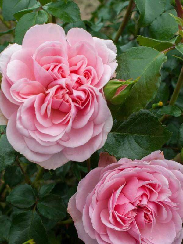Rosier à fleurs groupées 'Home & Garden'