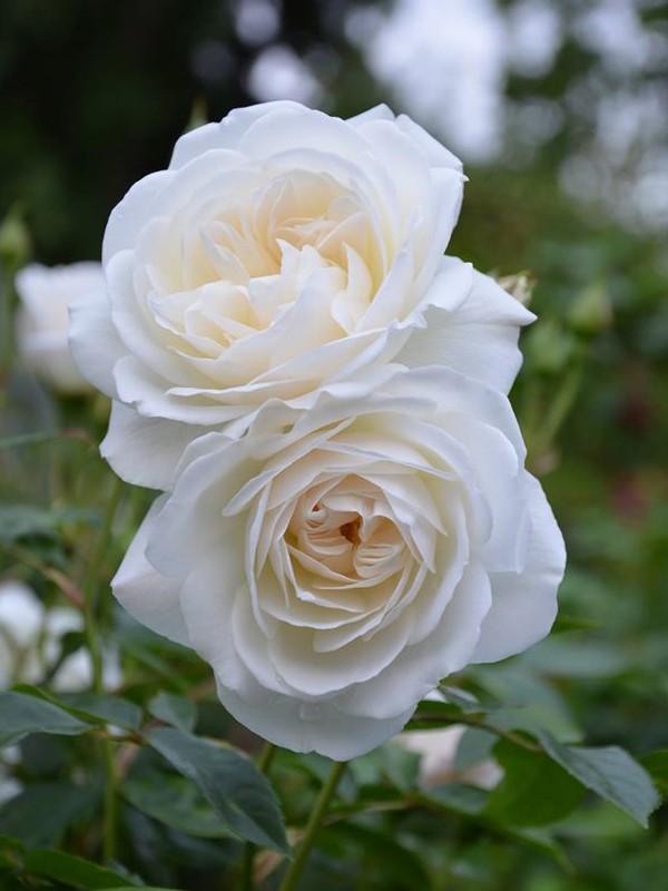 """Résultat de recherche d'images pour """"rose blanche"""""""