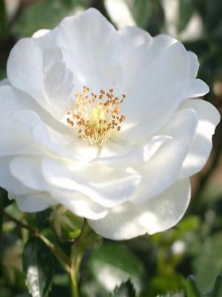 Rosier à fleurs groupées 'Innocencia'