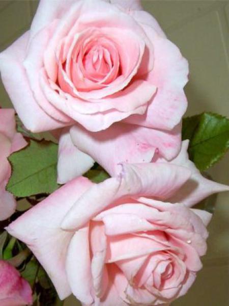 Rosier à fleurs groupées 'Kalinka'