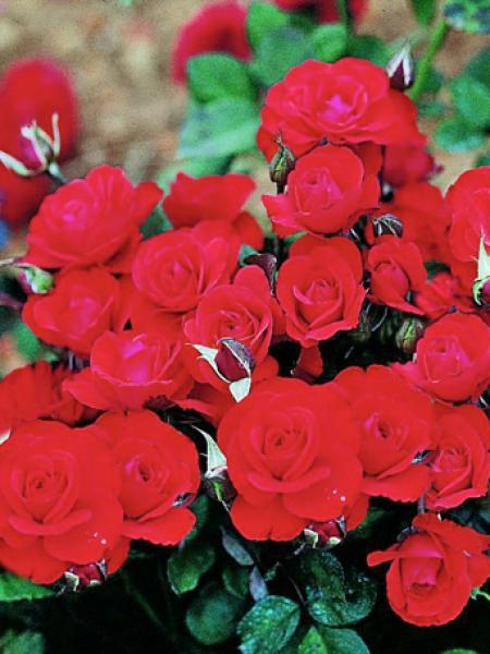 Rosier à fleurs groupées 'Laure Charton'®