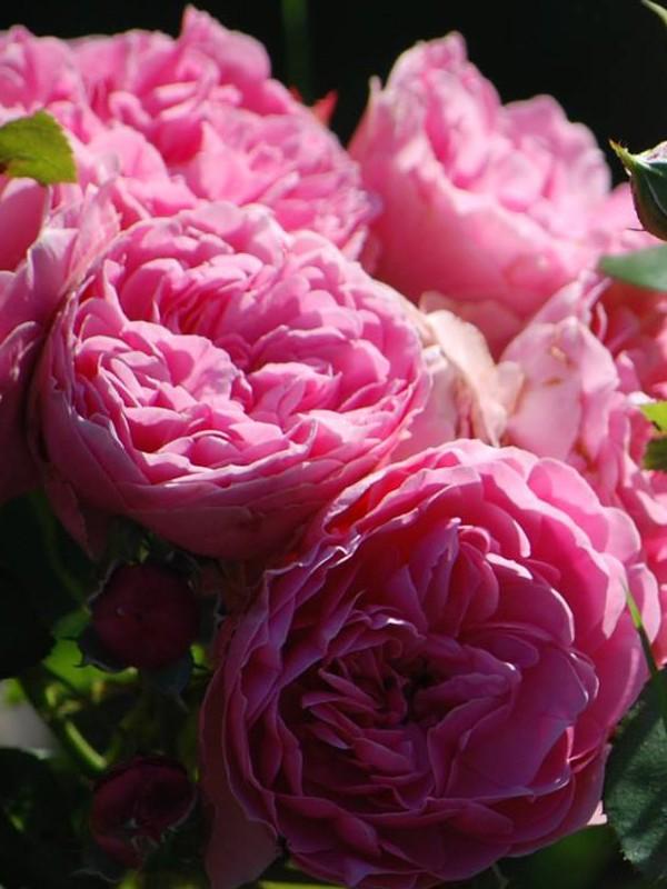 Rosier à fleurs groupées 'Leonard de Vinci'