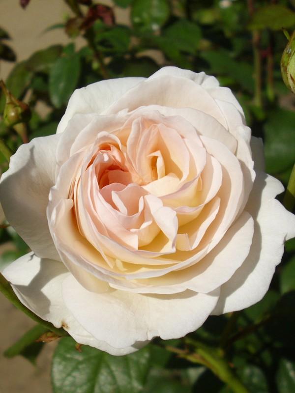 Rosier à fleurs groupées 'Lions Rose'