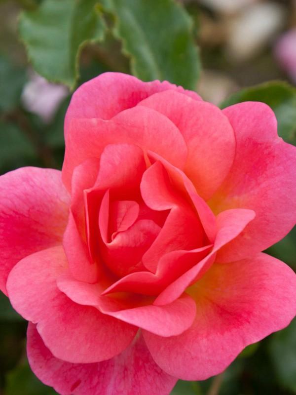 Rosier à fleurs groupées 'Maxi Vita'