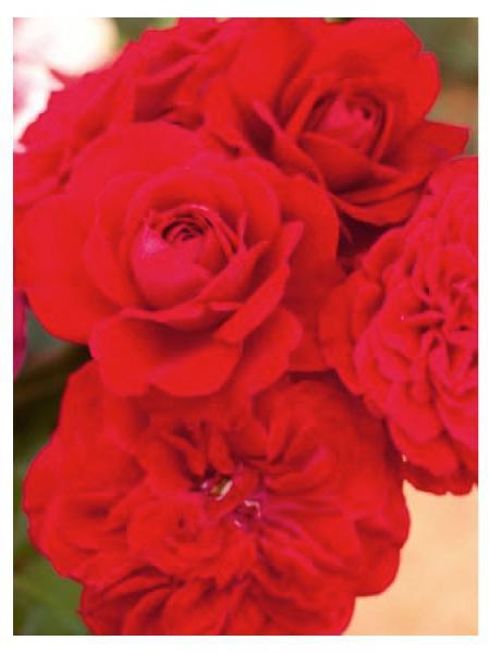 Rosier à fleurs groupées 'Mona lisa'